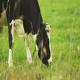 نقش تغذیه در راندمان تولیدمثل گاو