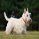 سگ نژاد اسکاتیش تریر (Scottish Terrier)