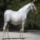 اسب نژاد شاگیا (Shagya Arabian)