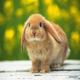 خرگوش لوپ (Holland Lop)