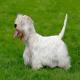 سگ نژاد سیلی هم تریر (Sealyham Terrier)