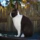 خرگوش نژاد هلندی (Dutch Rabbit)