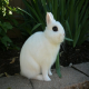 خرگوش هوتوت کوتوله (Dwarf Hotot)