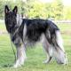 سگ نژاد شایلو شپرد (Shiloh Shepherd)