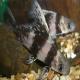 ماهی پوزه خرگوشی (Chinese Hi Fin Banded Shark)