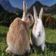 آیا خرگوشهای ماده دوران قاعدگی دارند و آیا خونریزی میکنند؟