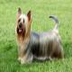 سگ نژاد سیلکی تریر (Silky Terrier)
