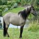 اسب پونی سورایا (sorraia pony)