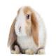 خرگوش مینی لوپ (Mini Lop Rabbit)