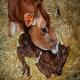 علائم زایمان در گاو و مراقبت های لازم