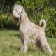 سگ نژاد سافت کوتد ویتن تریر (Soft Coated Wheaten Terrier)