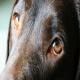 تکامل چشم سگها برای جلب نظر انسان