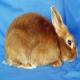 خرگوش مینی ساتین (Mini satin)