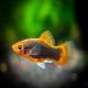 ماهی پلاتی تاکسیدو (Tuxedo Platy)