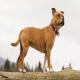 سگ استافوردشایر بول تریر (Staffordshire Bull Terrier)