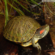 بیماریهای شایع لاکپشت گوش قرمز