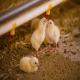 اهمیت پاکیزگی آب نوشیدنی مرغها