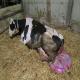 پرولاپس رحم در گاو و حیوانات نشخوارکننده