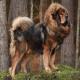سگ نژاد تیبتن ماستیف (Tibetan Mastiff)
