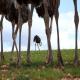 انگلهای خارجی شترمرغ