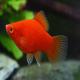 ماهی پلاتی قرمز (Red Platy)