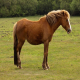 اسب پونی نیو فارست (new forest pony)