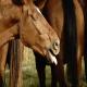 پنومونی در اسب