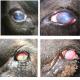 درمان و پیشگری بیماری چشم صورتی یا التهاب ملتحمه دام