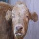 علائم اسهال ویروسی گاوان (BVD- MD)