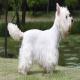 سگ وست هایلند وایت تریر (West Highland White Terrier)