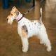 سگ وایرهر فاکس تریر (Wire Hair Fox Terrier)
