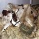 هیپوکلسمی (hypocalcemia) در گاوها پس از زایش
