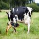 پیومتر (Pyometra) در گاو ماده