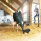 اختلالات عفونی دستگاه تناسلی گاو ماده