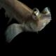 ماهی چهار چشم (Four-Eyed Fish)