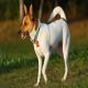 سگ نژاد رت تریر (rat terrier)