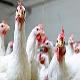 تأثیر پروبایوتیک ها روی رشد مرغ های گوشتی