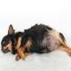 عفونت رحم (پیومتر) در سگ