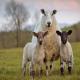تولیدمثل گوسفند