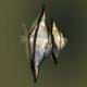 ماهی آنجل مونو (Mono Sebae)