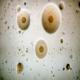 جداسازی و شناسایی مایکوپلاسما سینویا