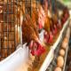 پرریزی اجباری (تولک بردن) مرغ تخمگذار