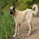 سگ نژاد کانگال (Kangal Shepherd)