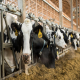 مدیریت تغذیه گاوهای خشک