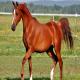 خصوصیات ظاهری و اندام شناسی اسب عرب
