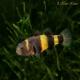 گاو ماهی (Bumblebee Goby)