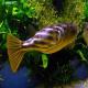 ماهی فاهاکا پوفر (Fahaka Puffer)