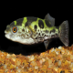 ماهی توپاز پوفر (Topaz Puffer)