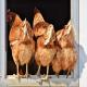 برآورد رطوبت فضله مرغها