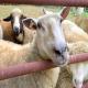سقط کلامیدیایی در گوسفند و بز